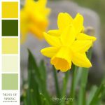 Color inspiration photo of daffodils with color swatches
