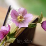 Book with Lenten Rose